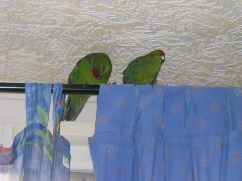 Besoin de conseil sur l'achat de deux nouveaux oiseaux Dscn1112