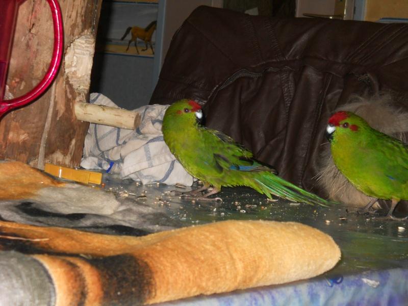 Besoin de conseil sur l'achat de deux nouveaux oiseaux Dscn1114
