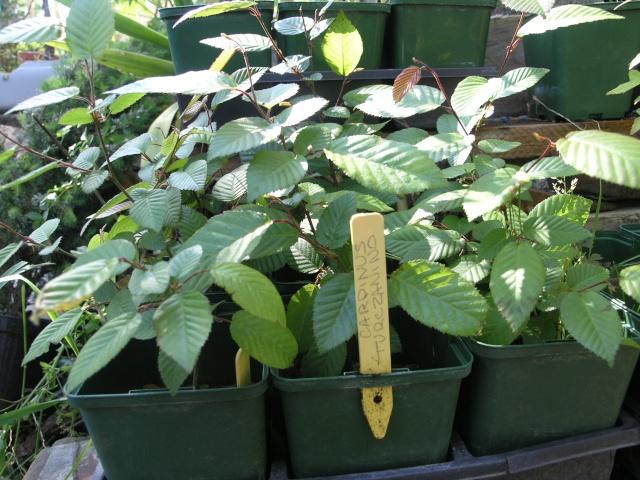 carpinus turczanino P4177710