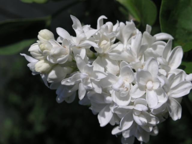 un brin de lilas P4177712