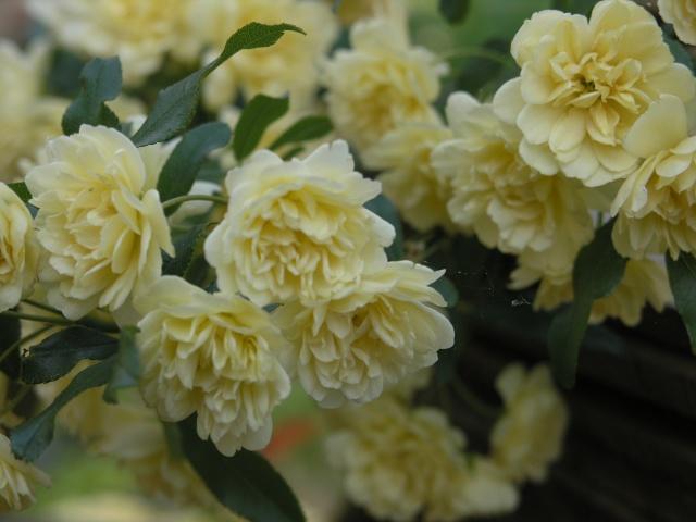 petites roses P4177713