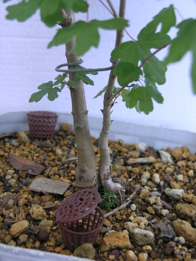 erable champêtre multi troncs P4247813