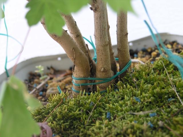 erable champêtre multi troncs P4247815