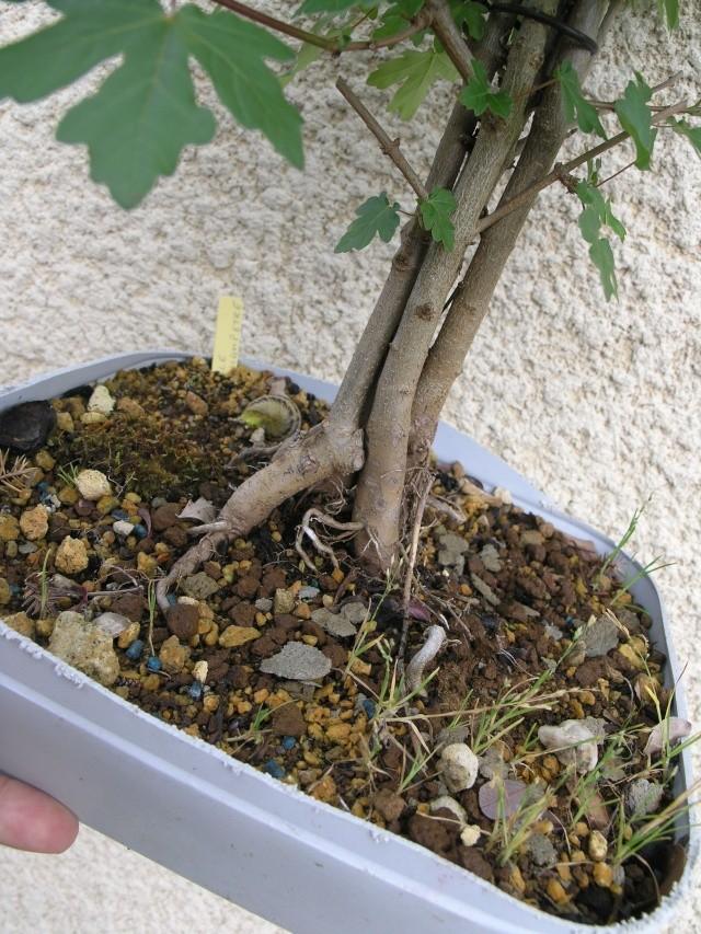 erable champêtre multi troncs P4247817