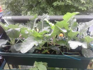 Cauliflowers without a garden Caulif10