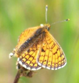 [Mellicta parthenoides] détermination des Mellicta 09050610