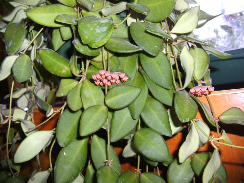 Hoya bilobata Bild0410