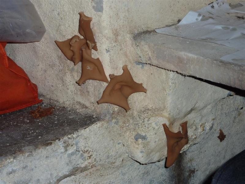 identification de champignon de cave P1040612
