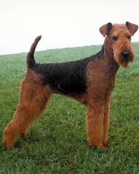 le Airedale Aireda11