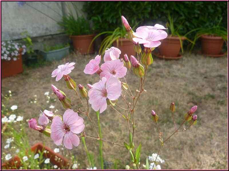 Une vivace ? Gypsophila Elegans Monjar11