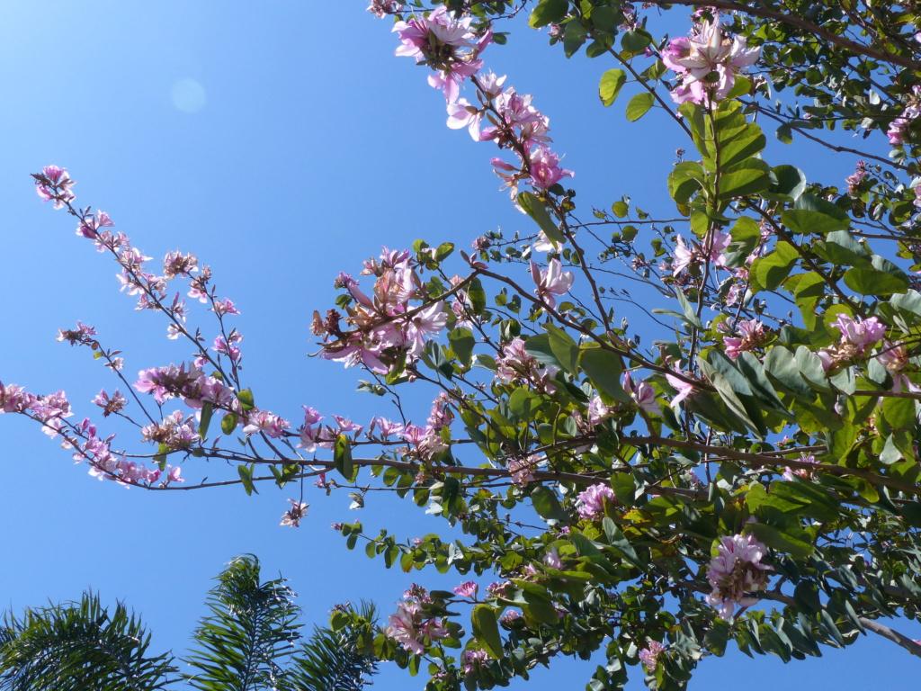 un arbre à grandes fleurs roses vu en Grèce (Bauhinia purpurea) P1020814