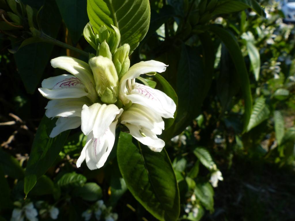 un arbre à grandes fleurs roses vu en Grèce (Bauhinia purpurea) P1020820