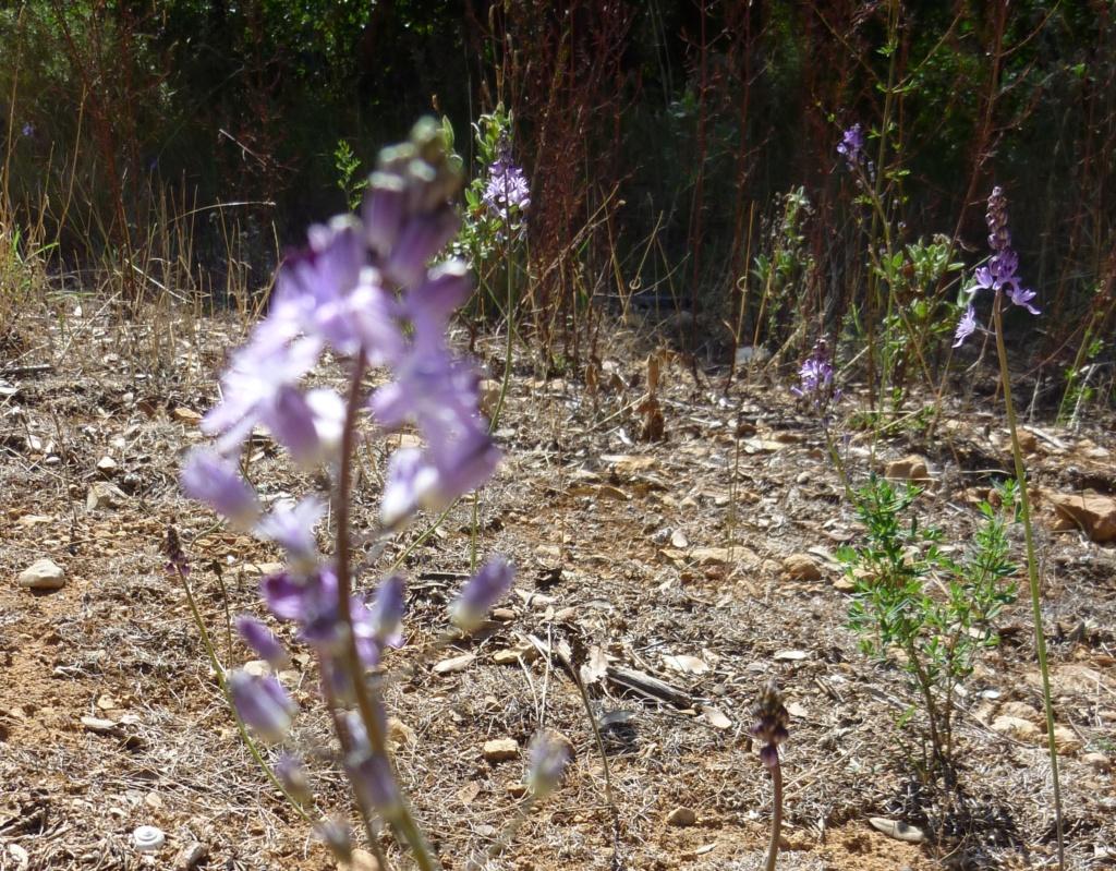 mini-orchis ? P1190010