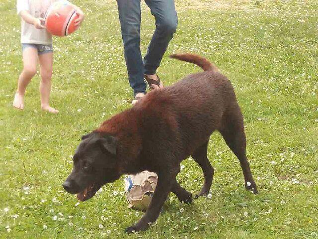 CALINE, née en 2007, croisée labrador noire (SPA d'Evreux) - Page 3 Photo610