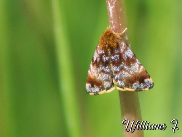 identification d 'un papillon de nuit Papill10