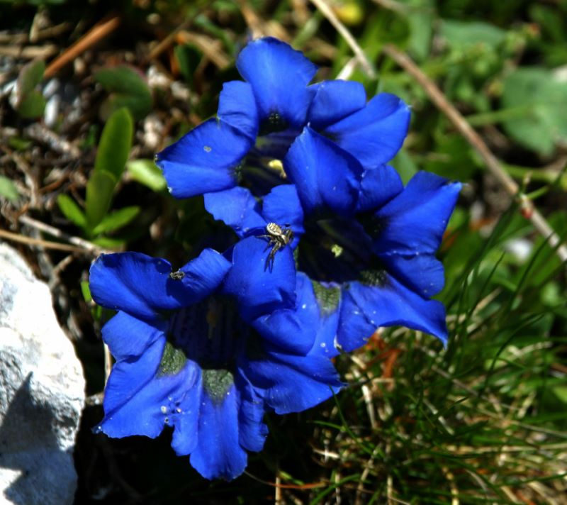 Bleu, comme Gentiane  Gentia10