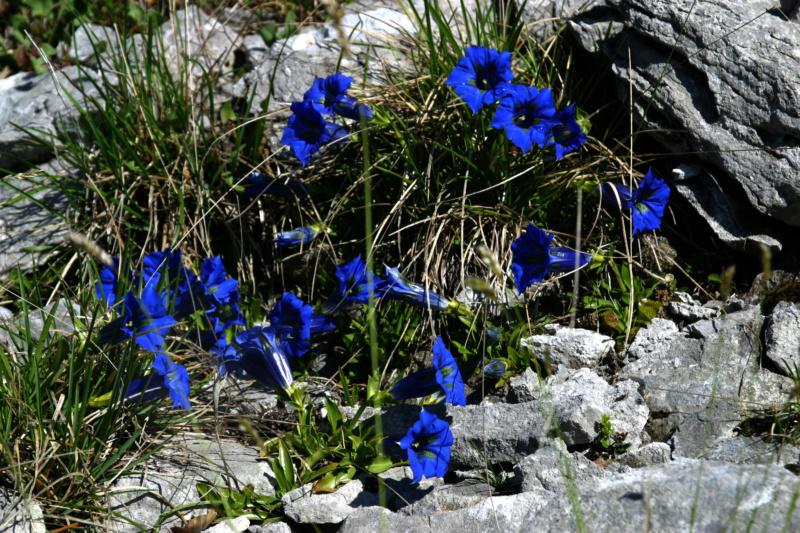 Bleu, comme Gentiane  Gentia12