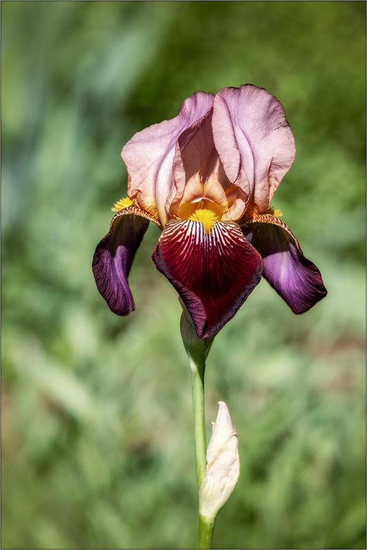 [Flore] L'iris + ajout Dscf2018