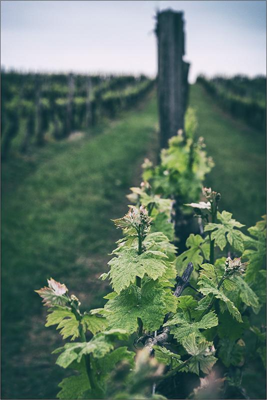 [Paysages] Les vignes + ajout Dscf2116