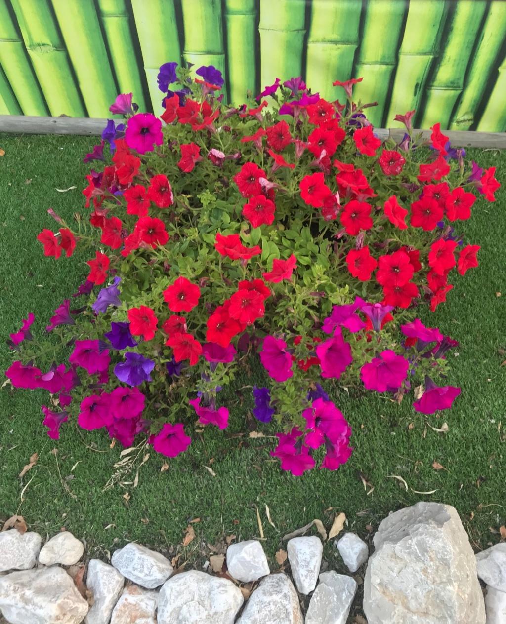 Les pétunias... source de couleurs insolites !  Img_5012
