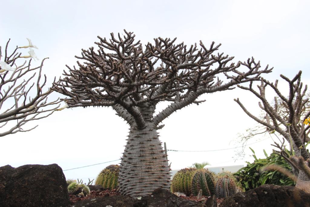 Quelques Pachypodium en pagaille (Ile de la Réunion) Img_0410