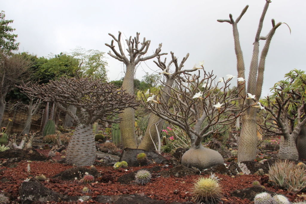 Quelques Pachypodium en pagaille (Ile de la Réunion) Img_0411