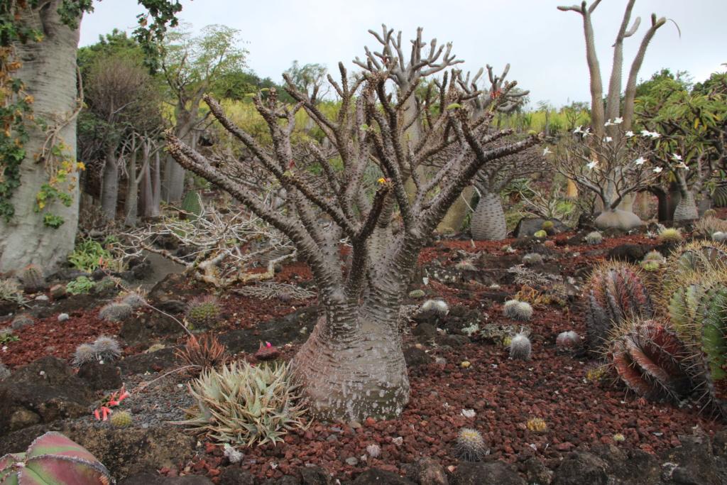 Quelques Pachypodium en pagaille (Ile de la Réunion) Img_0412