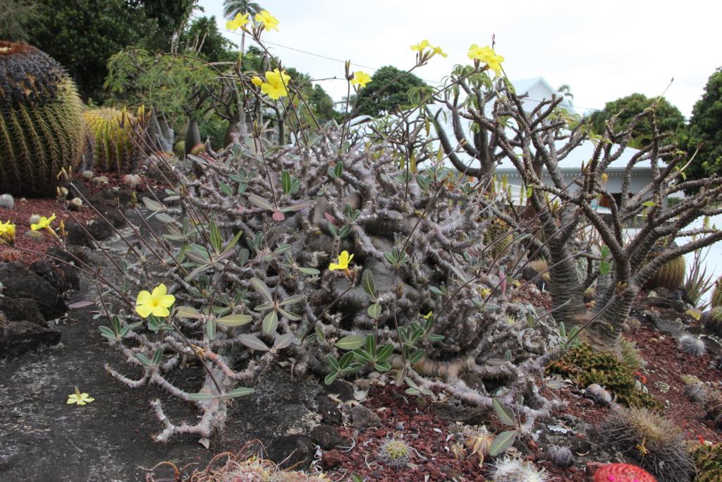 Quelques Pachypodium en pagaille (Ile de la Réunion) Img_0413