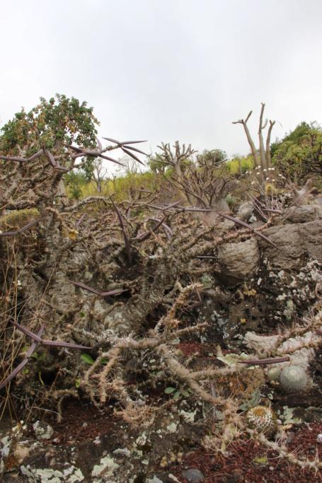 Quelques Pachypodium en pagaille (Ile de la Réunion) Img_0416