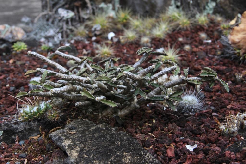 Quelques Euphorbes en pagaille (Ile de la Réunion) Img_0420