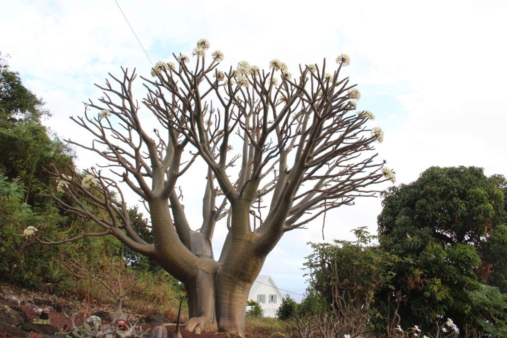 Quelques Pachypodium en pagaille (Ile de la Réunion) Img_0512
