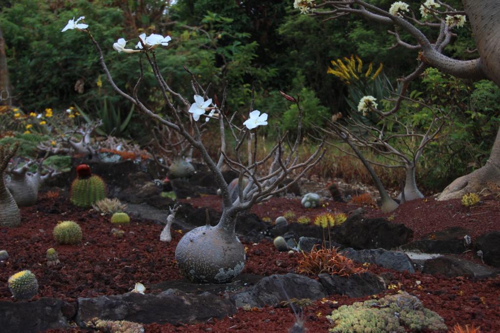 Quelques Pachypodium en pagaille (Ile de la Réunion) Img_0513