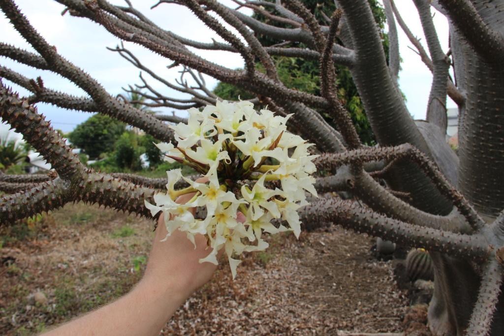 Quelques Pachypodium en pagaille (Ile de la Réunion) Img_0515