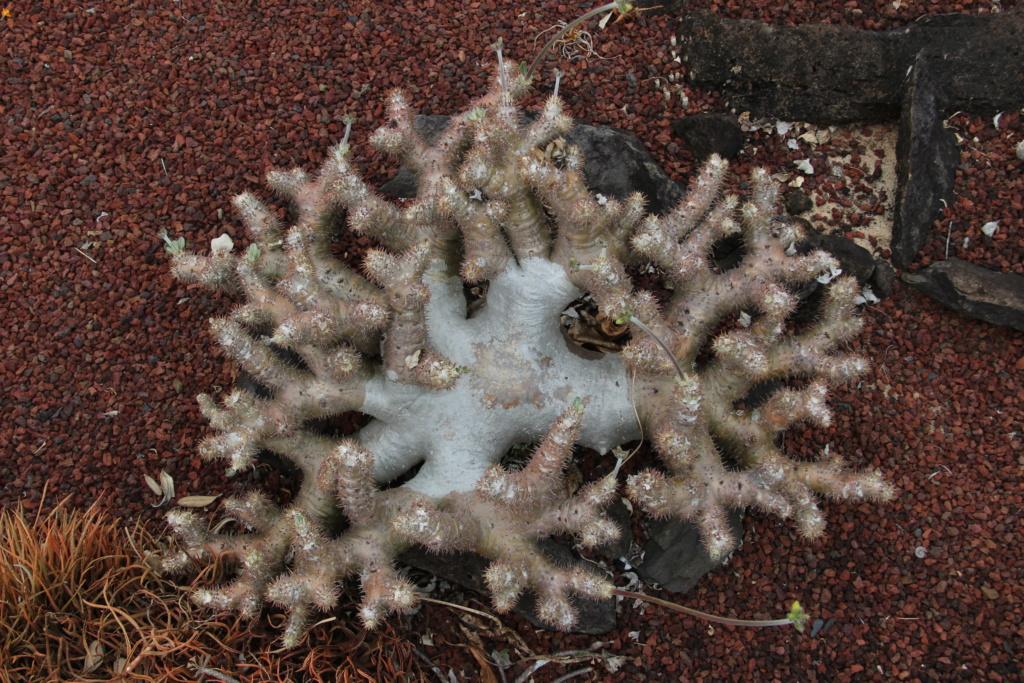 Quelques Pachypodium en pagaille (Ile de la Réunion) Img_0516