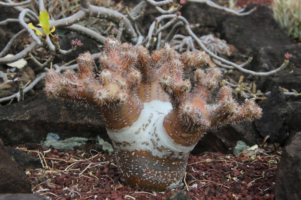 Quelques Pachypodium en pagaille (Ile de la Réunion) Img_0517