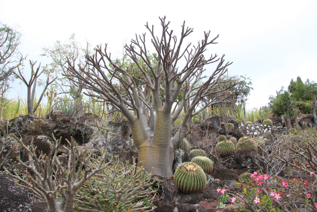 Quelques Pachypodium en pagaille (Ile de la Réunion) Img_0521