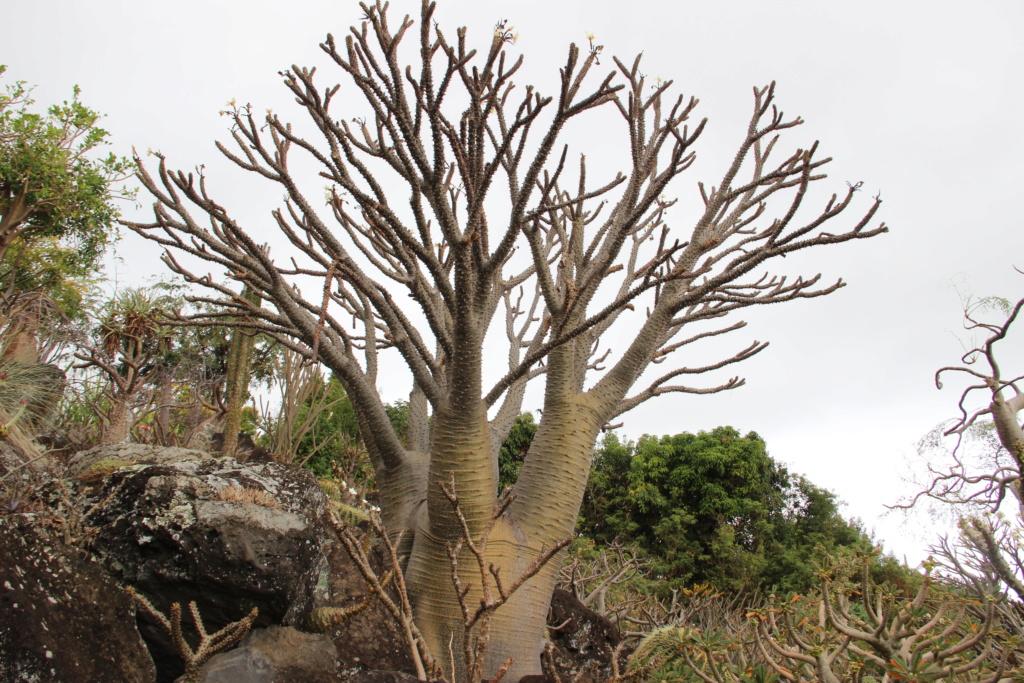 Quelques Pachypodium en pagaille (Ile de la Réunion) Img_0522