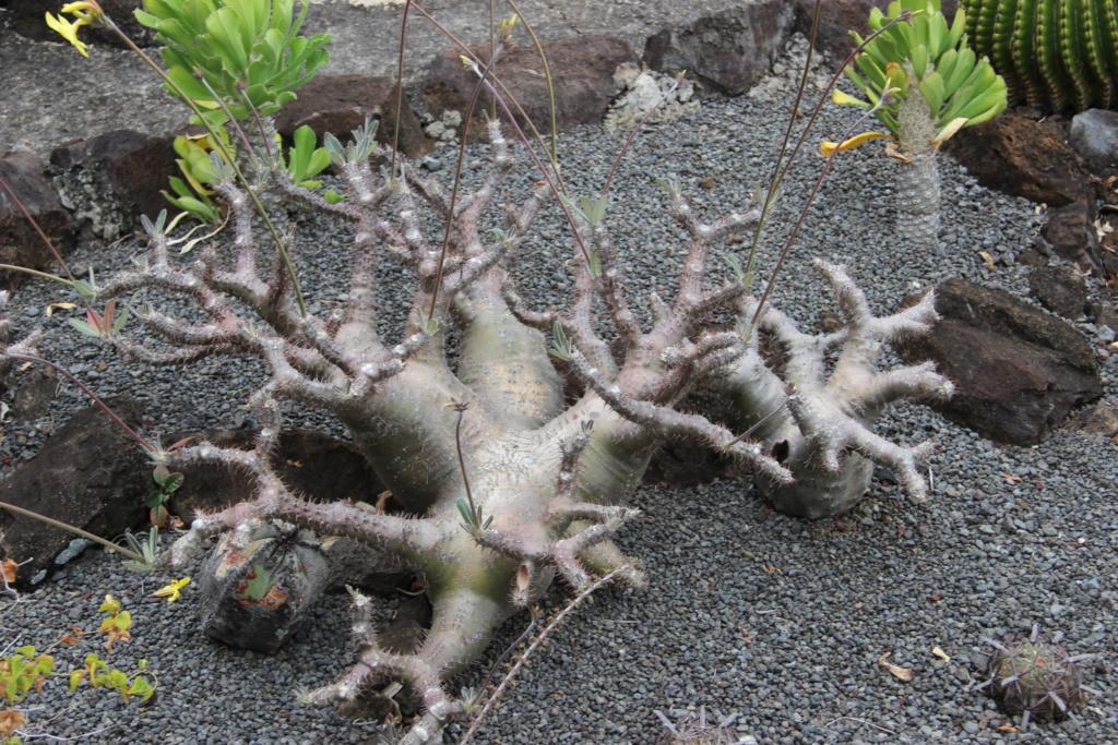 Quelques Pachypodium en pagaille (Ile de la Réunion) Img_0523