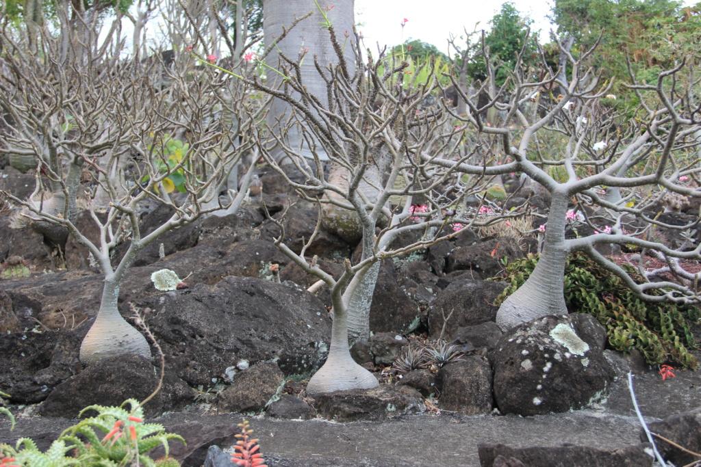 Quelques Pachypodium en pagaille (Ile de la Réunion) Img_0524