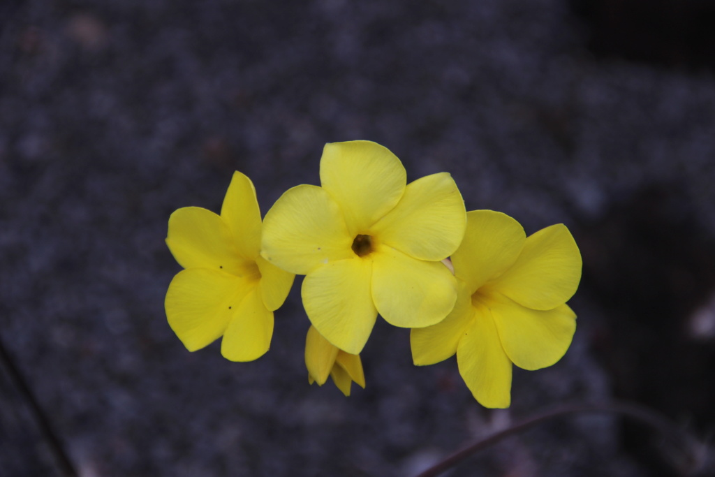 Quelques Pachypodium en pagaille (Ile de la Réunion) Img_0535