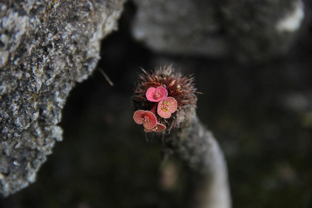 Quelques Euphorbes en pagaille (Ile de la Réunion) Img_0537