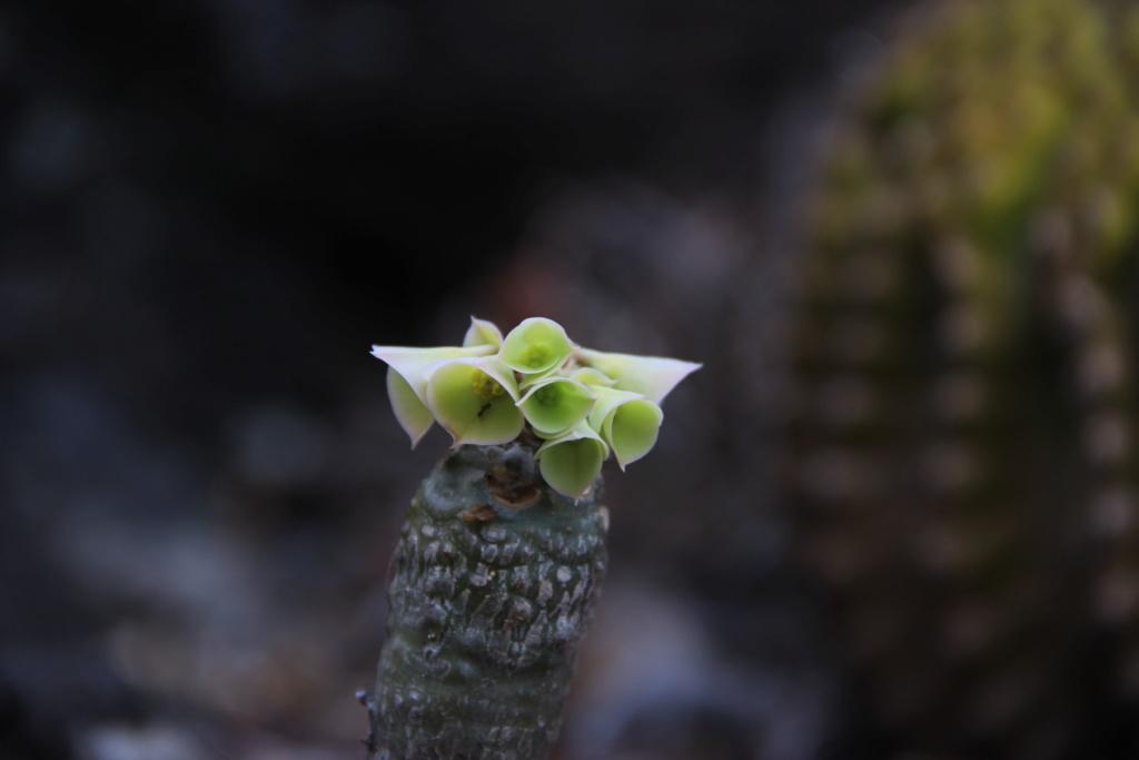 Quelques Euphorbes en pagaille (Ile de la Réunion) Img_0538