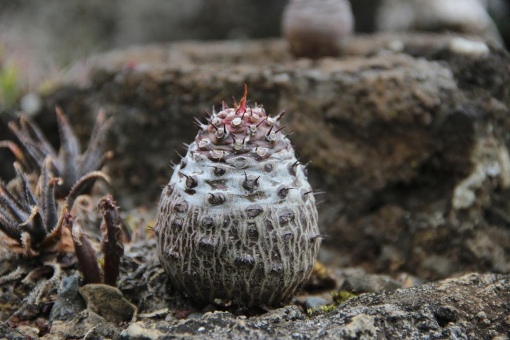 Quelques Euphorbes en pagaille (Ile de la Réunion) Img_0540