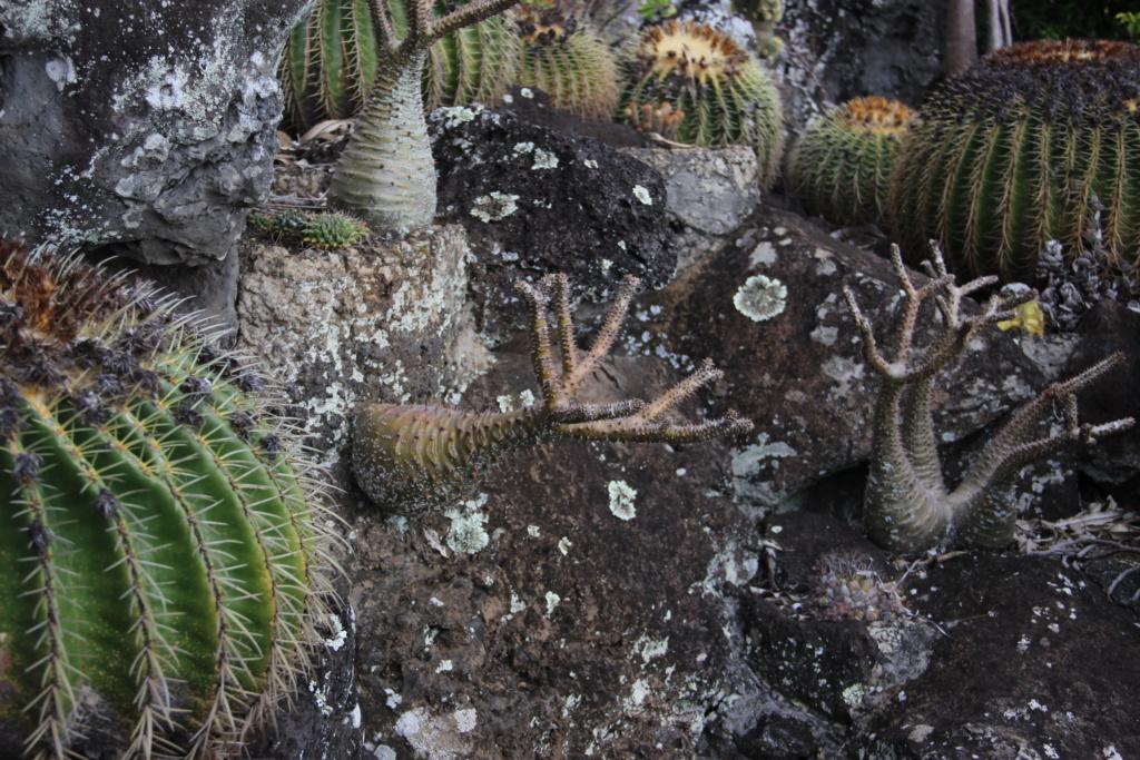 Quelques Pachypodium en pagaille (Ile de la Réunion) Img_0611