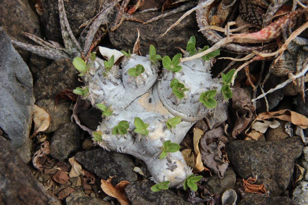 Quelques Pachypodium en pagaille (Ile de la Réunion) Img_1214