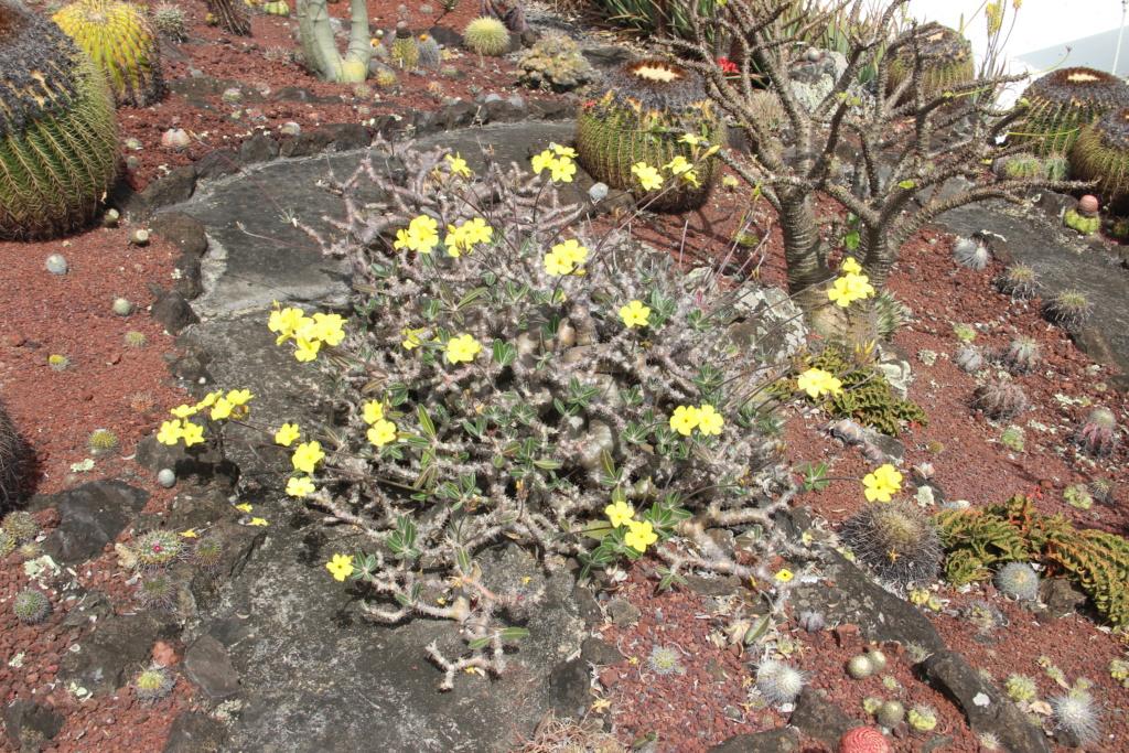Quelques Pachypodium en pagaille (Ile de la Réunion) Img_1215
