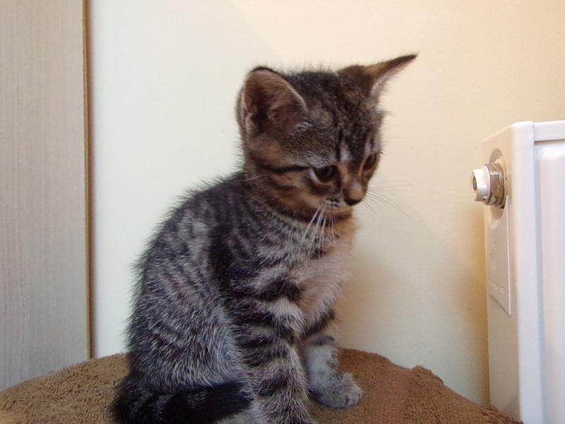 Oxi , chatonne tigrée, née le 01/05/2018 100_2819