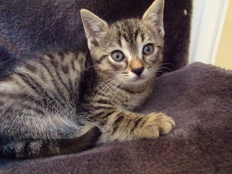 Oxi , chatonne tigrée, née le 01/05/2018 100_2820