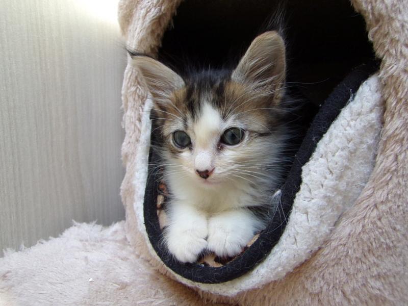 Ombelin, chaton mâle blanc et tabby, poils mi longs, né le 01/07/2018 100_3217