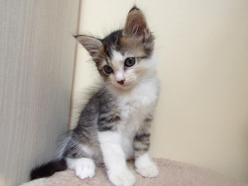 Ombelin, chaton mâle blanc et tabby, poils mi longs, né le 01/07/2018 100_3314
